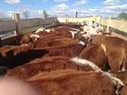 Скачать фотографию Другие животные Телки породы казахская белоголовая 69495895 в Магнитогорске