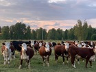 Просмотреть foto Другие животные Стадо крс породы Казахская Белоголовая 76698516 в Уфе