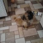 Продам щенка породы пекинез, 5-и месяцев, очень ласковый
