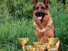 Скачать изображение Вязка собак питомник Владиоз Виол предлагает кобелей немецкой овчарки 34341645 в Улан-Удэ