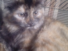 Фотография в   Отдам трехцветную кошечку. 3 месяца. Пушистая. в Улан-Удэ 0