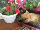 Увидеть foto Вязка кошек тайский красавец ищет подругу 68336151 в Улан-Удэ
