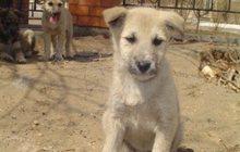 Щенки красивого светлого окраса от средней собаки даром
