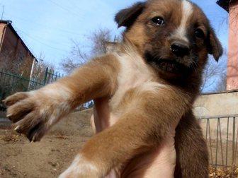 Скачать бесплатно фотографию  Щенки от крупной собаки Белка и Стрелка ищут дом 33778100 в Улан-Удэ