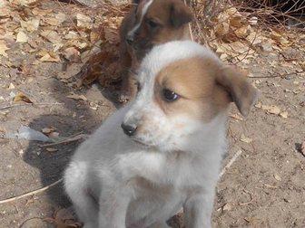 Новое foto  Щенки от крупной собаки Белка и Стрелка ищут дом 33778100 в Улан-Удэ