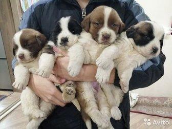 Продаю щенков московской сторожевой,  Возраст 1 месяц, кушают самостоятельно,  Щенки здоровые, крупные,  Мама с папой чистокровные, их можно посмотреть на месте, в Улан-Удэ