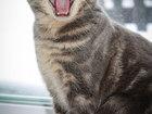 Свежее фотографию  Шотландская вислоухая кошечка ищет шотландского котика 57118220 в Ульяновске