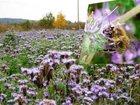 Скачать бесплатно фото  Семена медоносных растений в розницу 32922597 в Братске