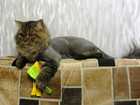 Скачать фотографию  стрижка собак и кошек 34829591 в Усть-Илимске