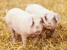 Скачать бесплатно фотографию  БВМ добавка для свиней Purina 15% 34051135 в Великом Новгороде