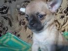 Фотография в Собаки и щенки Продажа собак, щенков продам малыша чихуахуа , крепкий , красивый в Вичуге 9000