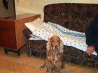 Изображение в   Найдена собака породы кокер-спаниель рыжего в Владикавказе 0