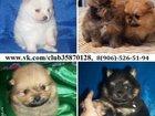 Изображение в Собаки и щенки Продажа собак, щенков Щеночки померанцы недорого! У нас от 10000 в Владимире 0