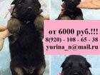 Фотография в Собаки и щенки Продажа собак, щенков Продаю крупных чистокровных щенков немецкой в Владимире 6000