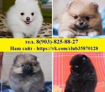 Изображение в Собаки и щенки Продажа собак, щенков Шпица чистокровных и не чистокровных щеночков в Владимире 8500