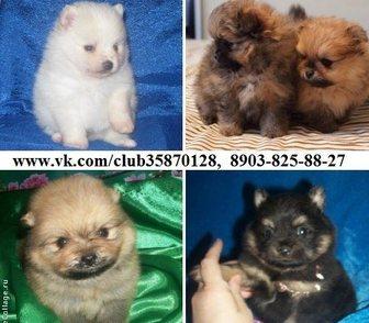 Фото в Собаки и щенки Продажа собак, щенков Симпатичные собачки шпицы! В продаже чистокровные в Владимире 0