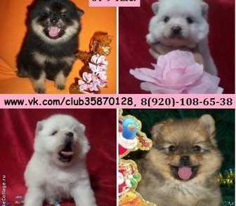 Фото в Собаки и щенки Продажа собак, щенков Чистокровные и не чистокровные щенки померанского в Владимире 0
