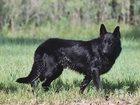 Изображение в Собаки и щенки Вязка собак Шикарный кобель немецкой овчарки, возраст в Волгодонске 3000