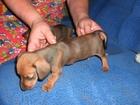 Скачать бесплатно изображение Собаки и щенки ЩЕНОК ТАКСЫ 32334443 в Волгограде