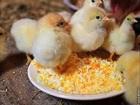 Смотреть изображение Корм для животных Комбикорм для цыплят яичных пород 34145309 в Волгограде
