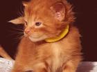Изображение в Кошки и котята Продажа кошек и котят Котенок Мейн Кун, - уникального красного в Волгограде 50000