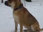 Фотография в Собаки и щенки Вязка собак Предлагаем для вязки прекрасного уравновешенного, в Пензе 0