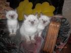 Увидеть фото Продажа кошек и котят продам котят невская маскарадная 37169356 в Волгограде