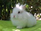 Скачать фото Другие животные Декоративные и карликовые кролики 37272783 в Волгограде