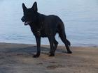 Просмотреть изображение Вязка собак Вязка, Кобель немецкой овчарки с родословной 37275310 в Волгограде