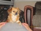 Увидеть фотографию Вязка собак ищу кобеля тибетского спаниеля для вязки с нашей сучкой 37680314 в Волгограде