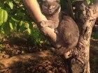 Свежее foto Вязка Шотландский кот ищет невесту, 38921333 в Волгограде