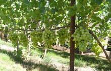Виноград: обрезка, посадка, консультации