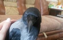 Ручная ворона
