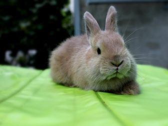 Новое фотографию Другие животные Декоративные и карликовые кролики 37272783 в Волгограде
