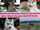 Фотография в Собаки и щенки Продажа собак, щенков В продаже чистокровные очень красивые щеночки в Вологде 0