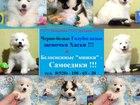 Фотография в Собаки и щенки Продажа собак, щенков В продаже щеночки от заводчика, порода: самоедская в Вологде 0