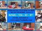 Фото в Собаки и щенки Продажа собак, щенков Черно-белых голубоглазых и редчайших белоснежных в Вологде 0