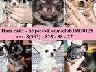 Фото в Собаки и щенки Продажа собак, щенков ЧИХУА-ХУА чистокровных щеночков щеночков, в Вологде 7000