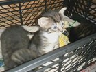 Свежее фотографию Отдам даром - приму в дар котята 39529068 в Вологде