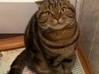 Увидеть фотографию Вязка кошек Вязка кошек, шотландский вислоухий кот 40058375 в Вологде