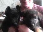 Фотография в   продаются щенята немецкой овчарки.   мальчик в Воронеже 0