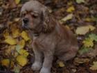 Скачать фото Вязка собак Кобель американского кокер-спаниеля для вязки, 38554552 в Воронеже