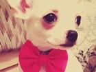 Просмотреть изображение Вязка собак Чихуахуа для вязки, 39366240 в Воронеже
