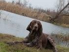 Увидеть изображение Вязка собак Породистый курцхаар для вязки, Пёс красивый,ухоженный,умный, команды знает, к охоте натаскан, Все прививки делаются каждый год (соответствующие документы имеютс 39924393 в Воронеже