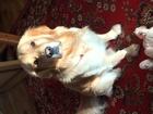 Скачать бесплатно изображение  Кабель золотистого ретривера вязка 52152779 в Воронеже