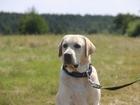 Новое foto Вязка собак Вязка, молодой, яркий шоу кобель лабрадор ретривер 67753761 в Воронеже