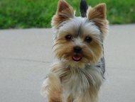 Здравствуйте,хочу купить щенка,Йоркширского мальчика  Здравствуйте, хочу купить