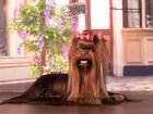 Свежее foto Вязка собак Шоколадный йоркширский терьер, вязка 37996711 в Воскресенске