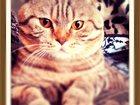 Изображение в Кошки и котята Вязка Ваязка кота. Скоттиш-фолд (шотландский вислоухий). в Зеленограде 1000