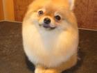 Фотография в Собаки и щенки Стрижка собак Опытный грумер приглашает на стрижку собак в Зеленограде 0